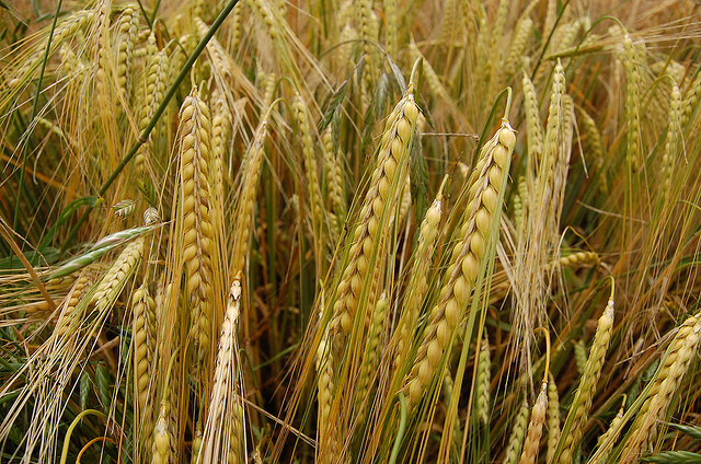 GIMAF gets Australian barley exports to Korea back on track